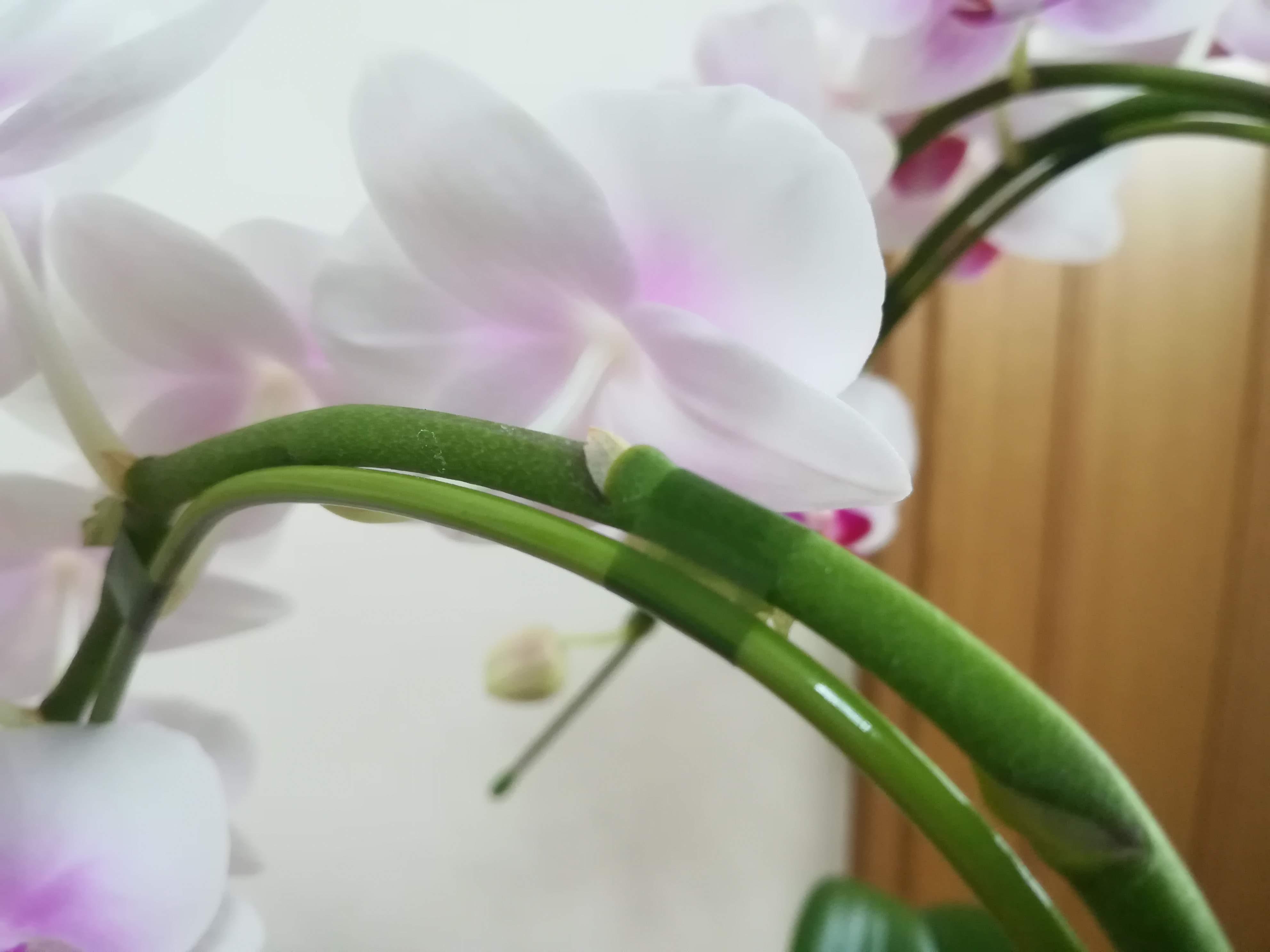 胡蝶蘭 ワイヤー